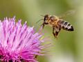 Honigbiene_landend