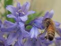 Honigbiene_nektarsaugend