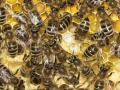 Honigbienen_brutpflegend.jpg
