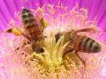 Honigbienen_pollenbuerstend