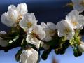 trachtpflanze_kirschblueten_2.jpg