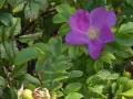 trachtpflanzen_hagebutte