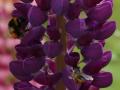 trachtpflanzen_lupine.jpg