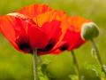 trachtpflanzen_mohnblume.jpg