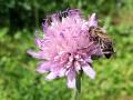 trachtpflanzen_wittwenblume