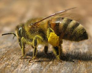 biene_mit_pollenhoeschen