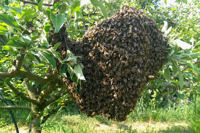 Bienenschwarm hängt an einem Apfelbäumchen.