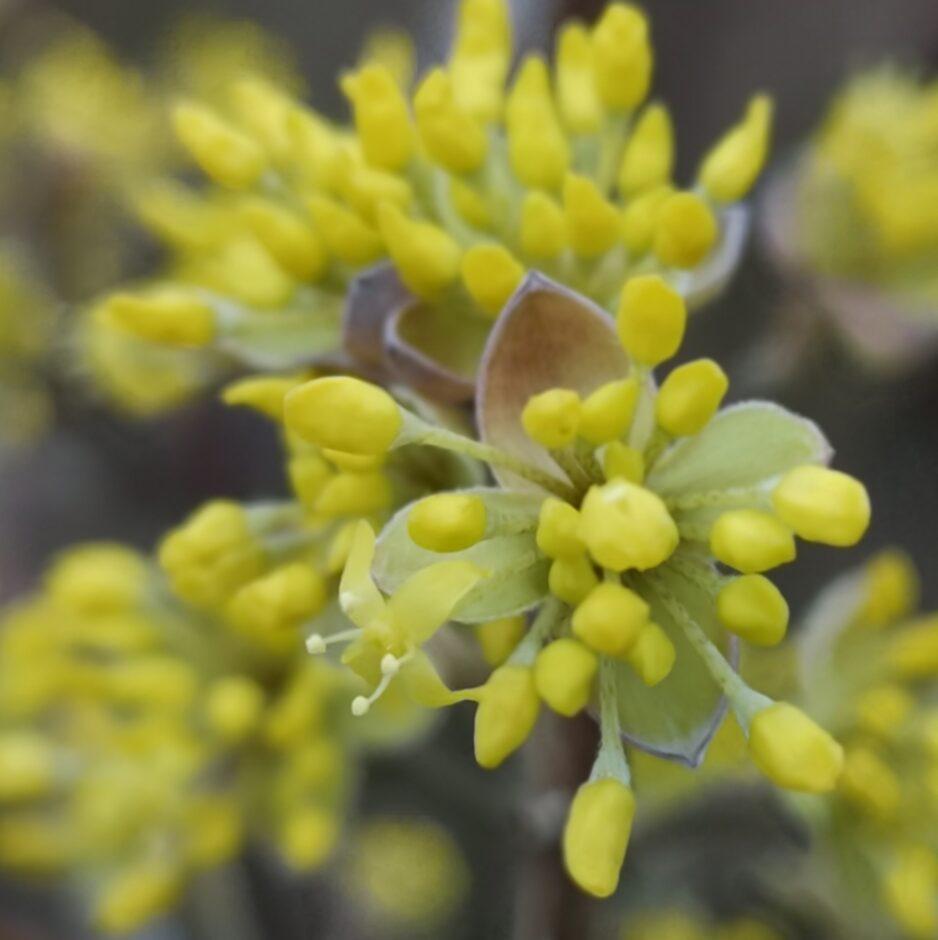 Aufspringende Knospen der Kornelkirsche. Die Blütenstände sind kurz vor der Blüte.