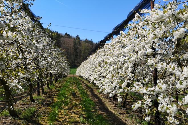 Kirschbaumkultur in voller Blüte.