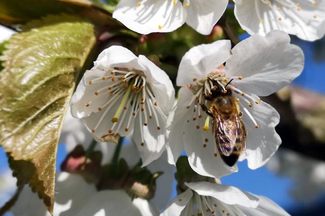 Honigbiene sammelt an einer Kirschblüte Nektar.
