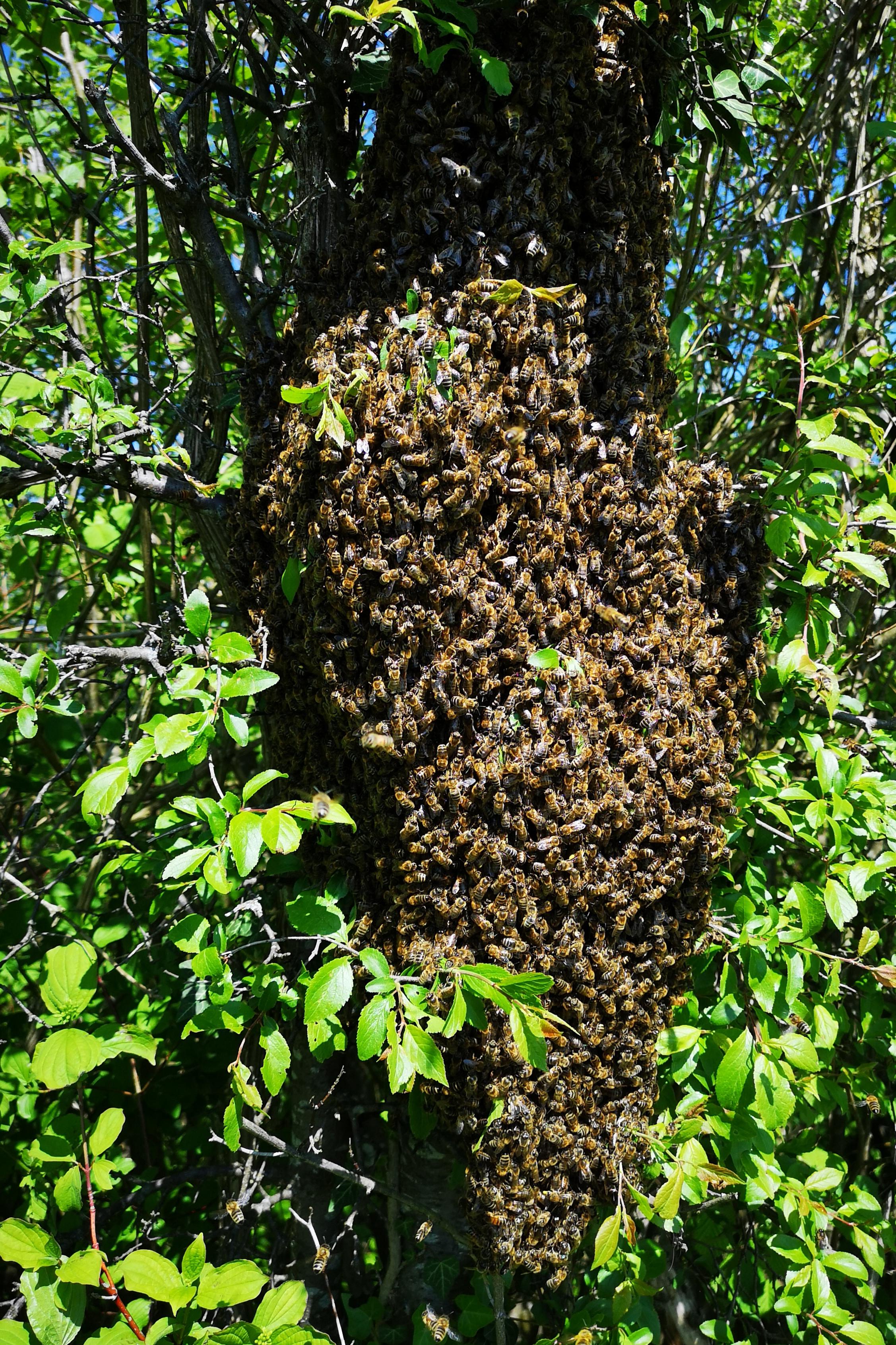 Erster Schwarm am 1. Mai 2019 an meinem Bienen Stand am Müliberg abgegangen. Ein ziemlich grosses Teil.