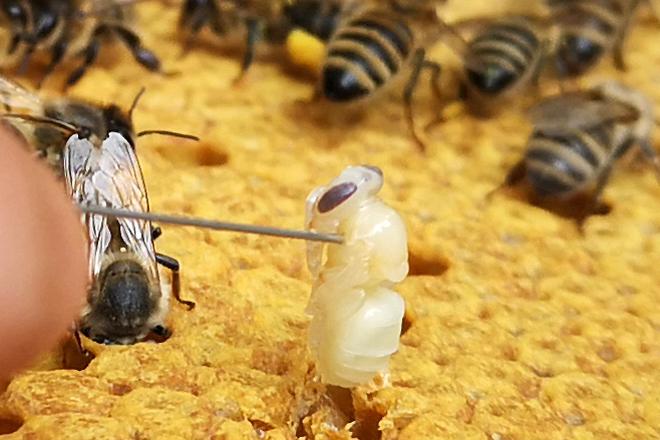 Mit dem sog. Nadeltest wird ein Bienenvolk auf seine Bruthygiene geprüft. Die Bruthygiene gilt als ein grundlegender Schutzmechanismus gegenüber Brutkrankheiten und -störungen. Züchter verbinden grosse Erwartungen mit der Berücksichtigung dieses Merkmals bei der Selektion im Hinblick auf die Bekämpfung der Varroamilbe.