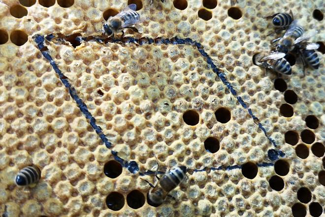 Rund 100 Zellen umfasst die mit schwarzem Stift markierte Fläche. Davon sind beim Nadeltest 50 verdeckelte Zellen mit einer Insektennadel (Stärke 2) angestochen worden.