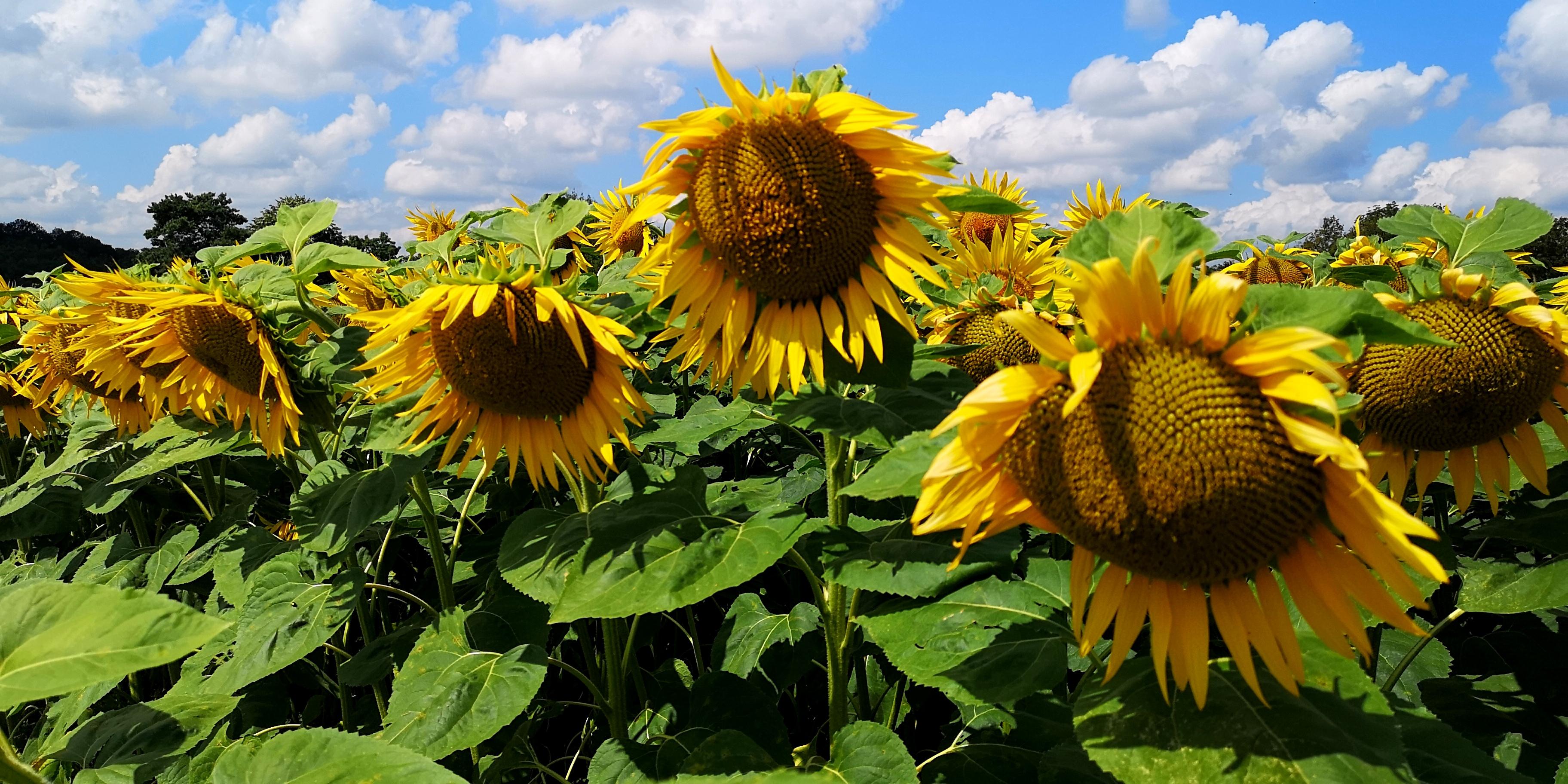Sonnenblumenfeld am Müliberg. Beliebtes Anflugsziel meiner Bienen.