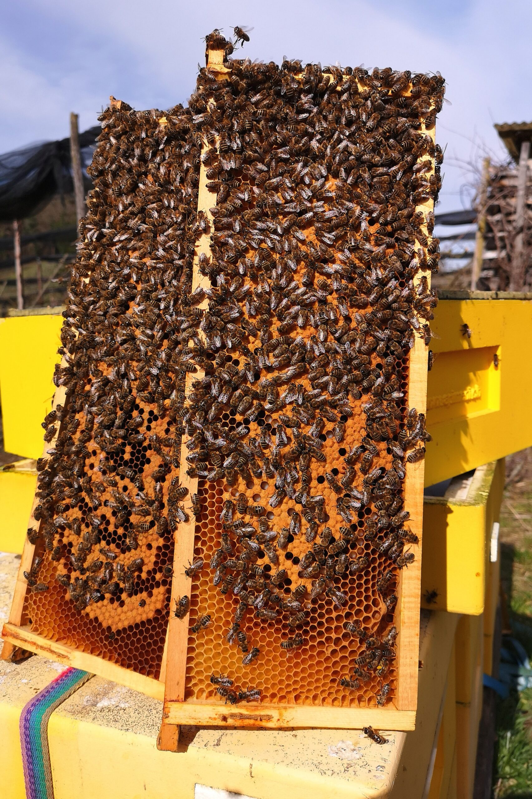 Auswinterung der Bienenvölker