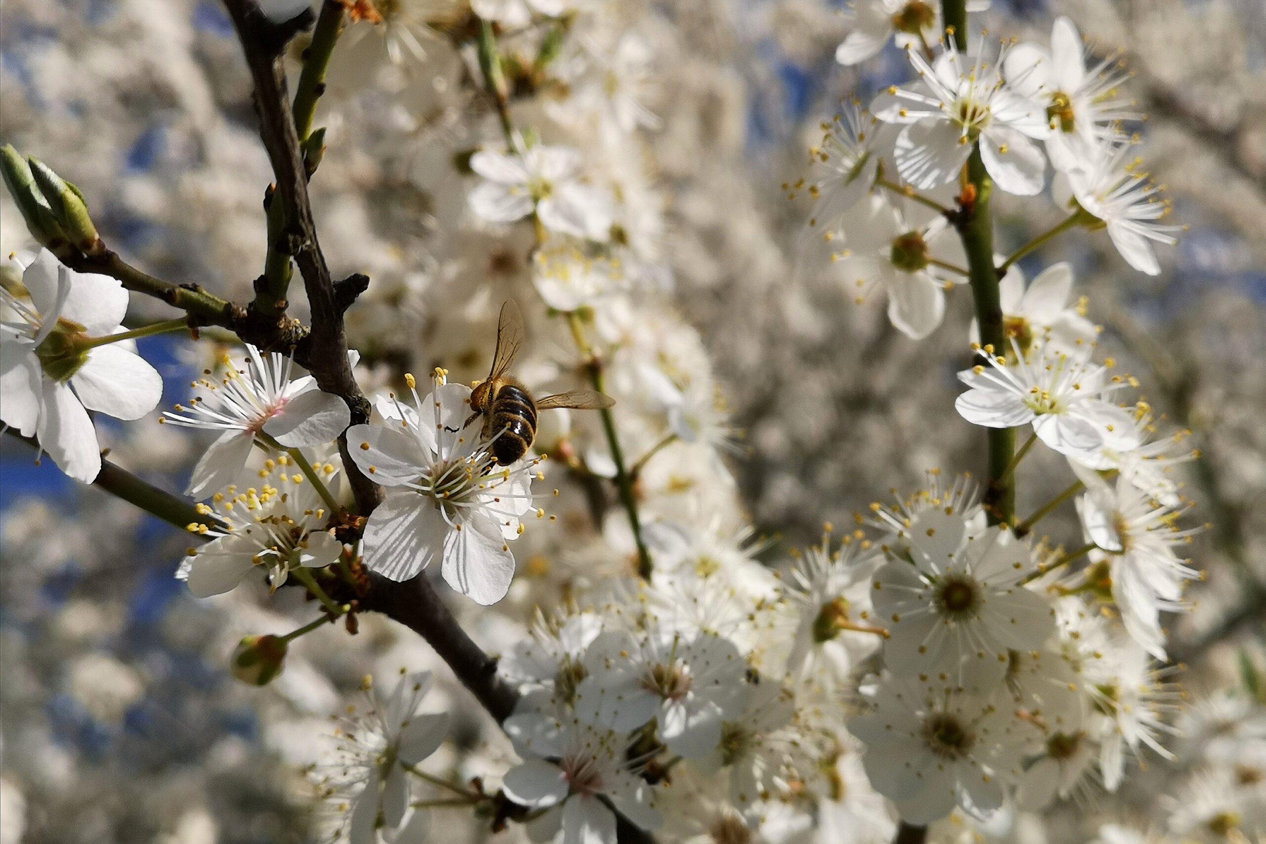 Bienen besuchen Schwarzdornblüten