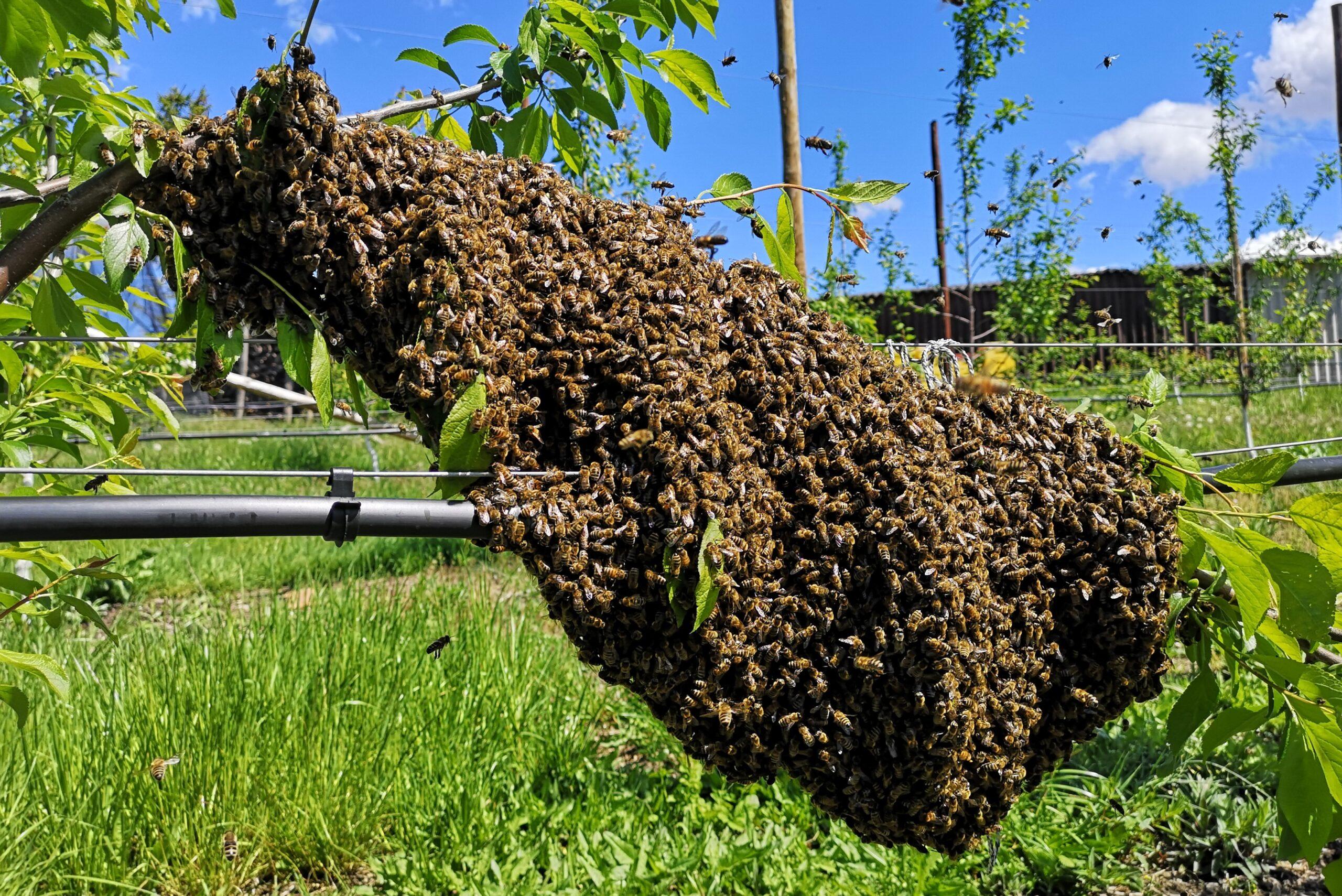 Bienenschwarm an Zwetschgenbaum