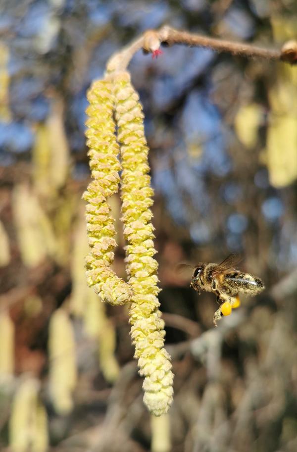 5. Februar 2021: Pollensammlerin beim Anflug eines Haselstrauchs