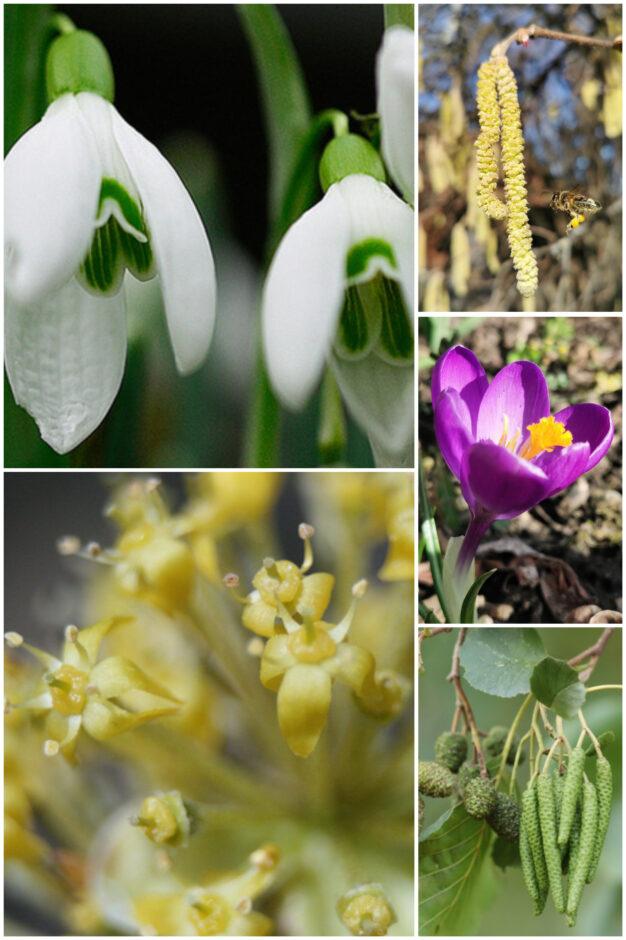 Trachtangebot im Februar/März 2021 in Humlikon: Hasel und Erle sorgen für Pollennachschub. Schneeglöckchen, Krokusse sowie insbesondere die Kornelkirsche bieten die erste Nektarquelle.