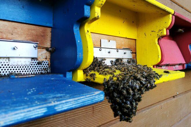 Kleiner Bienenbart vor Flugloch