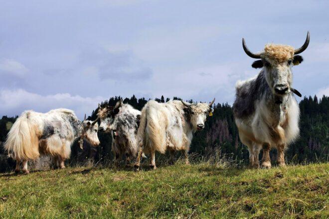Begegnung mit einer Kuhherde auf der Alp.