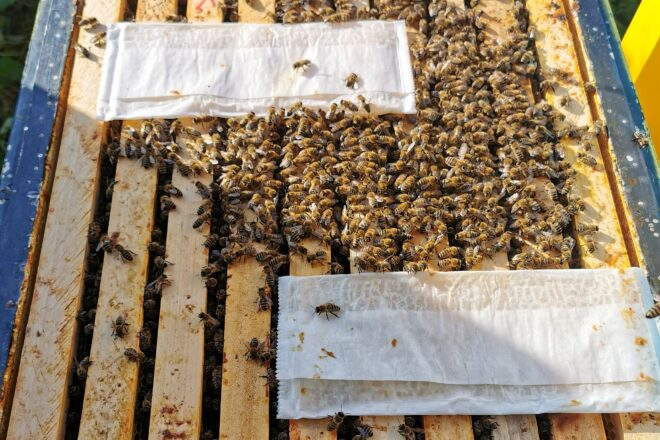 MAQS Bee Hive Strips: Die mit Ameisensäure getränkten Streifen werden direkt auf die Bruträhmchen gelegt.